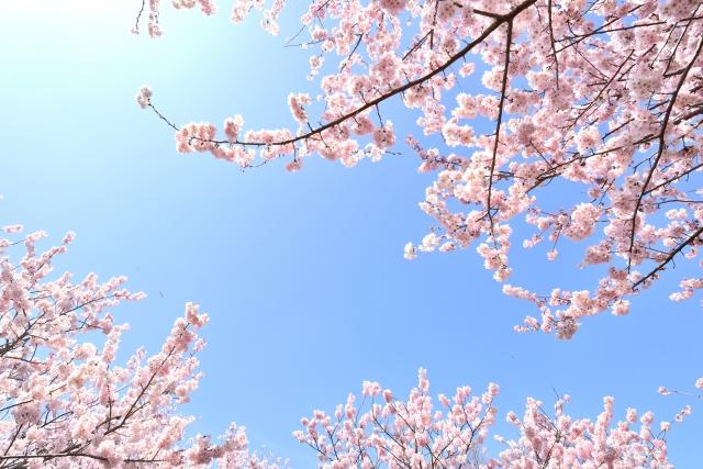 合格の桜が咲く!